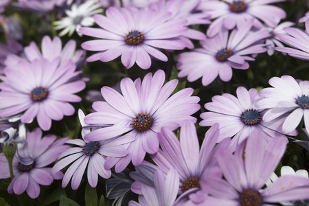 pink daisy: Pink daisy  on a field.
