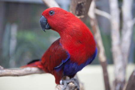 eclectus parrot: Scarlet Macaw. Beautiful red Eclectus parrot sitting on a perch. Stock Photo