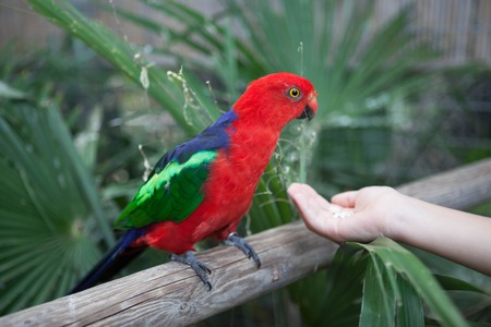 eclectus parrot: Scarlet Macaw. Beautiful red Eclectus parrot eats food with his hands. Stock Photo