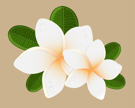 backgrouns: White plumeria  flower.  Vector illustration of white Two Frangipani flowers on white backgrouns. Spa or beauty center logo.