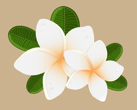 backgrouns: White plumeria  flower.  Vector illustration of white Two Frangipani flowers on white backgrouns. Spa or beauty center logo.