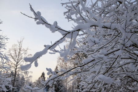 frozen winter: Scandinavian winter forest in the snow at sunset frosty day