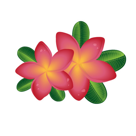 pink plumeria: Pink Plumeria  frangipany flowers with leaves isolated on white background Tropical illustration for summer design
