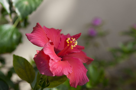 bush to grow up: Big Red Hibiscus flower close-up on a bush