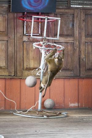 Circus performance Macaque playing basketball. Thailand Phuket. Stock Photo