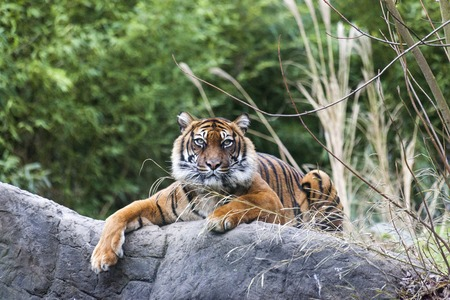panthera tigris sumatrae: Tiger lying on a rock, resting. Tiger close up in the forest.