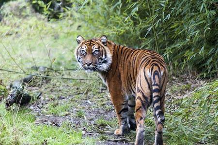 panthera tigris sumatrae: Large tiger in the wild is on the hunt.