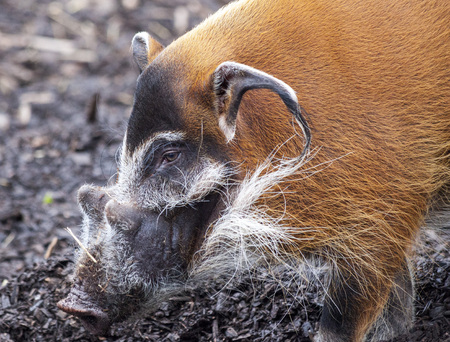 Muzzle boar closeup.Large male bush pigs looking for edible roots going into the ground. Stock Photo
