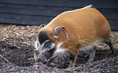 bush hog: Large male bush pigs looking for edible roots going into the ground.