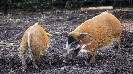 Family of pigs closeup.Large male bush pigs looking for edible roots going into the ground.