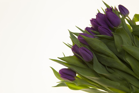 Fresh Dutch tulips a bouquet of purple flowers on a white background