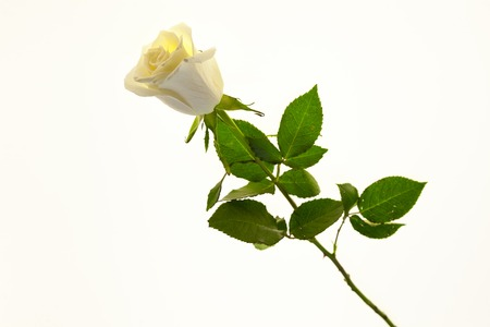 White rose flower closeup on a white background. Background for greeting card with place for text. Stock Photo