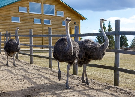 Ostriches in the paddock of the farm. Ostriches on the farm. Imagens - 76411714