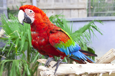 wildanimal: Big parrot macaw. A big bird in bright red blue green lights