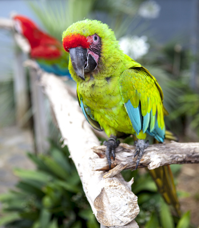wildanimal: A large parrot is a green macaw
