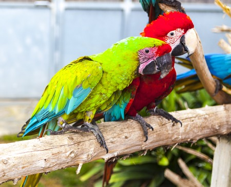 wildanimal: A pair of macaw parrots sit on a branch in the zoo