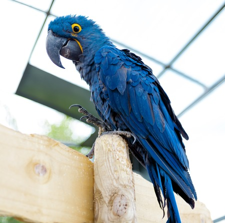 wildanimal: Big blue macaw parrot. A large bird in bright blue