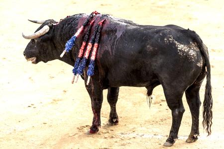 A large Spanish bull fighting. Spanish bullfight
