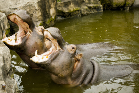 A couple of hippos in the river. The hippos opened their mouths waiting for food