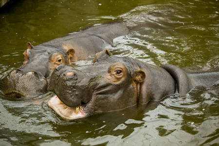 A pair of ferocious African hippos. The hippos opened their mouths waiting for food Banco de Imagens