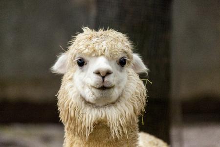 The female llama. Lama face closeup. Lama glama. Lama glama in the farm in Peru