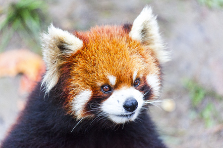 Face the red Panda. The male red Panda on the meadow . China Stock Photo