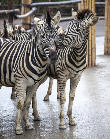 Two zebras. A family of zebras stand side by side. Zebras close-up. African zebra Banque d'images