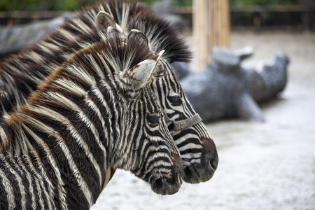 Two zebras. A family of zebras stand side by side. Zebras close-up. African zebra Stock Photo