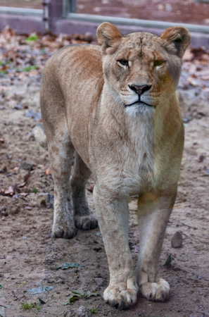 The female ligra. Face closeup of a hybrid of tiger and lion Stock Photo