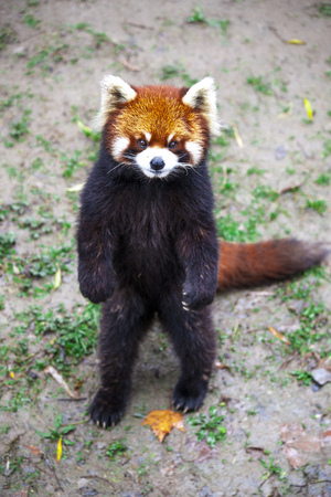 Red Panda. Red Panda stands on its hind legs.Red Panda closeup. Stock Photo