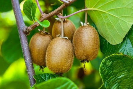 Juicy fruits of kiwi fruit. Kiwi on a branch in the garden