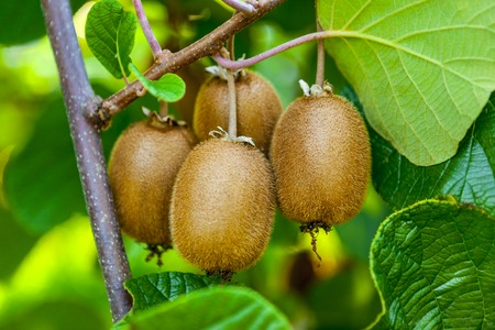 Juicy fruits of kiwi fruit. Kiwi on a branch in the garden