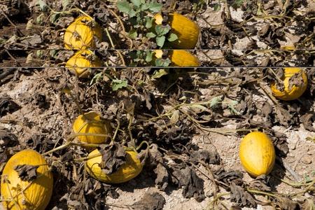 Drought in melon fields. Rotten fruit