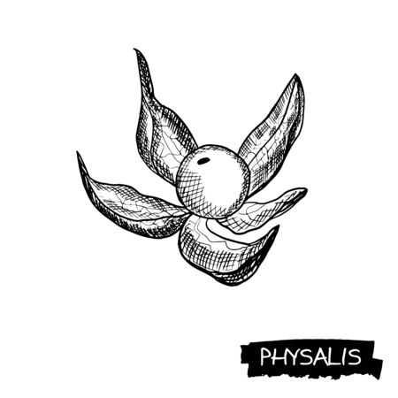 Physalis. Fruits on a white background. Food sketch line illustration. Vector in engraving style