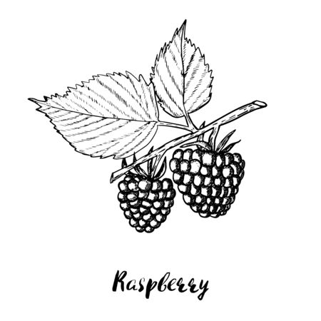Hand drawn raspberry background. Retro sketch style vector eco food illustration