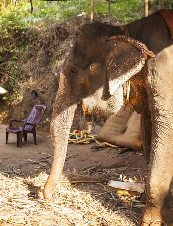Large Indian elephant eating sugarcane on a farm in India. Goa.