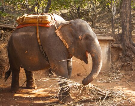 An Indian elephant with a seat for transporting people, resting on a farm in the state of Goa, India.