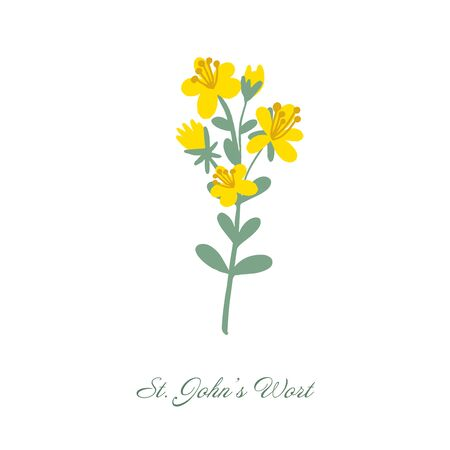 St. Johns wort medical botanical blossom plant. Vintage hand drawn colorful isolated illustration