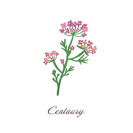 Centaury flower. Medical herbs and plants vector illustration. Isolated on white background Green and pink floral symbol.