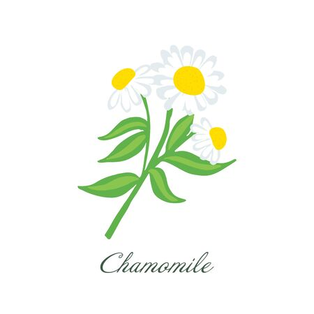 Bright and Beautiful Chamomile Flower or White Daisy Signs of Spring and Summer Vettoriali