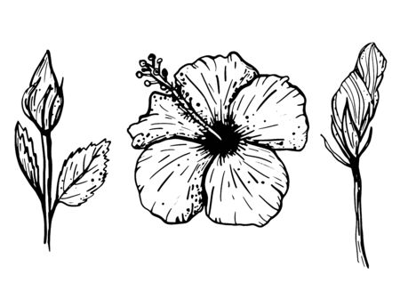 Set of hand drawn tropical hibiscus flowers. Botanical elements collection for design, cards, clothing, web and print. Vector illustration can be used for logo.