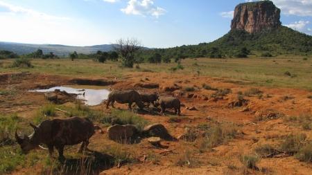 game reserve: White Rhinoceros in Entabeni Game Reserve Stock Photo