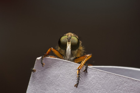 asilidae: Isolated robber fly, on the edge of a white paper