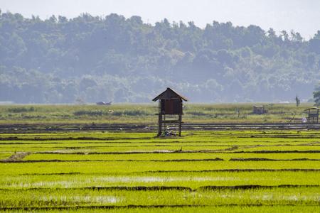 A vast view of a paddy field in Kampung Sangkir, Kota Belud, Sabah, Malaysia.