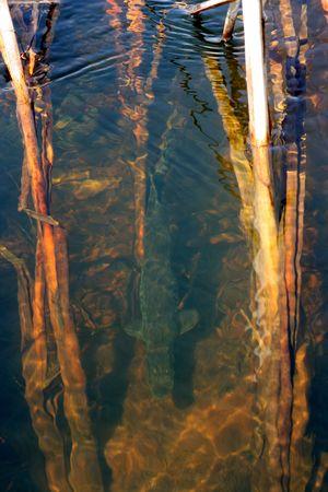 Minnesota Northern Pike swimming upstream to spawn.