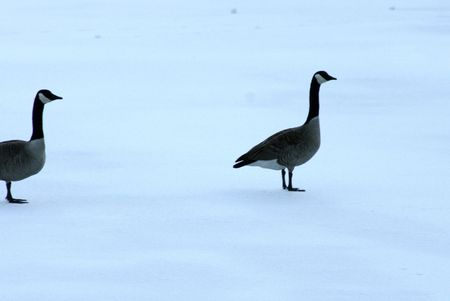 catch up: Goose waiting for its partner to catch up on the snow covered ice.