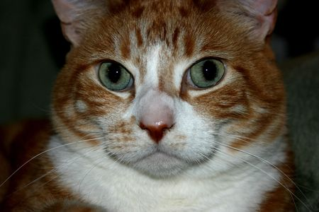 loveable: Close-up face photo of a bright eyed, orange and white, tiger striped house cat.  Stock Photo