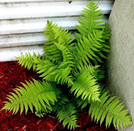 Fern growing in a corner.