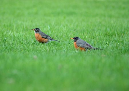 robins: Spring Robins in the grass.