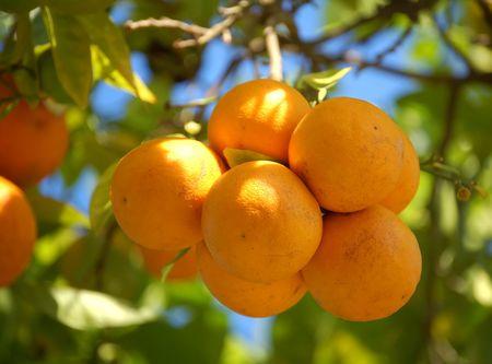 Mandarin tree photo